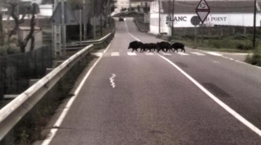 Sangliers sur passage piéton en Catalogne